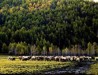 图说中国:内蒙古阿荣旗库伦沟牛羊满山坡