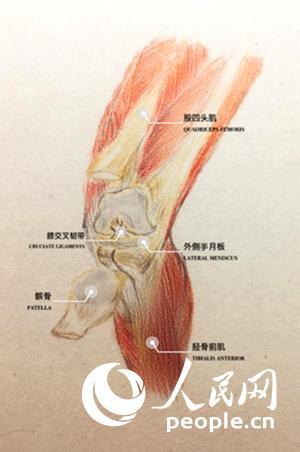 膝关节的解剖图(徐高静绘制)