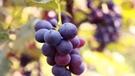 好吃的葡萄这么挑