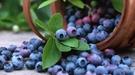 白霜越多,蓝莓越新鲜