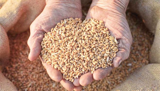 小麦入药养心护肠